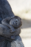 Baby Gorilla Sleeping in Mother's Arms Photographic Print by  DLILLC