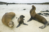 Galapagos Sea Lion Family Photographic Print by  DLILLC