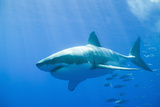 Grand requin blanc Reproduction photographique par  DLILLC