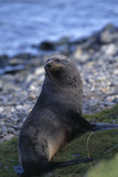 Antarctic Fur Seal Photographic Print by  DLILLC