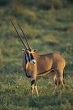 Oryx Gazella Photographic Print by  DLILLC