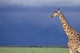 Giraffe and Dark Sky Photographic Print by  DLILLC