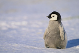 Baby Emperor Penguin Photographic Print by  DLILLC