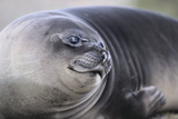 Southern Elephant Seal Photographic Print by  DLILLC