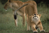 Lion Stretching Photographic Print by  DLILLC