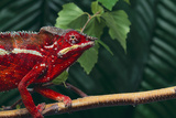 Panther Chameleon Photographic Print by  DLILLC