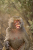 Hamadryas Baboon Baring Teeth Photographic Print by  DLILLC
