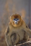 Blue Monkey Photographic Print by  DLILLC