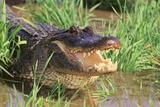 Alligator Fotografisk tryk af  DLILLC