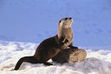 Alert River Otter Fotografisk tryk af  DLILLC