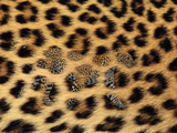 Leopard Walking in Fur Close-Up Reproduction photographique par  DLILLC
