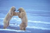 Polar Bears Fighting Lámina fotográfica por  DLILLC