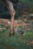 Ostrich Chick with Parent Photographic Print by  DLILLC