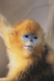Golden, or Blue Monkey Photographic Print by  DLILLC
