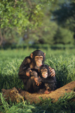 Chimpanzees Photographic Print by  DLILLC