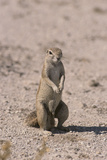 Ground Squirrel Standing Up Photographic Print by  DLILLC