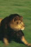 Running Lion Photographic Print by  DLILLC