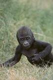 Western Lowland Gorilla Photographic Print by  DLILLC