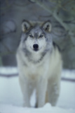 Gray Wolf in Winter Photographic Print by  DLILLC