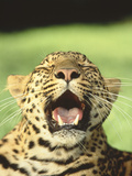 Leopard Yawning Photographic Print by  DLILLC