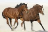 Galloping Quarterhorses Photographic Print by  DLILLC