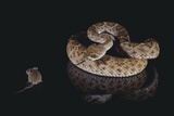 Western Diamondback Rattlesnake Looking at a Mouse Photographic Print by  DLILLC