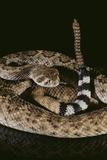 Western Diamondback Rattlesnake Fotografisk tryk af  DLILLC