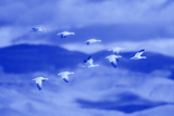 Snow Geese in Flight Photographic Print by  DLILLC