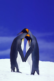 King Penguins Displaying Courtship Behavior Photographic Print by  DLILLC