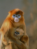 Sichuan Golden Monkey and Baby Photographic Print by  DLILLC