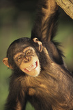 Happy Chimpanzee Photographic Print by  DLILLC