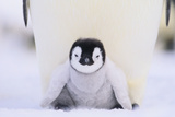 Emperor Penguin Protecting Offspring from the Cold Photographic Print by  DLILLC