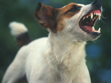 Jack Russell Terrier Barking Photographic Print by  DLILLC