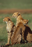 Cheetahs Photographic Print by  DLILLC