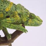 Meller's Chameleon Fotografie-Druck von  DLILLC