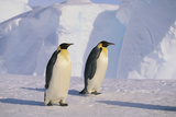 Emperor Penguins Photographic Print by  DLILLC