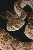 Western Diamondback Rattlesnake Photographic Print by  DLILLC