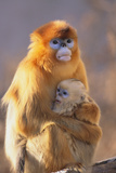 Golden, or Blue Monkey and Baby Photographic Print by  DLILLC