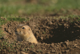 Black-Tailed Prairie Dog Peeking out of Den Photographic Print by  DLILLC