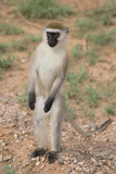 Vervet Monkey Photographic Print by  DLILLC