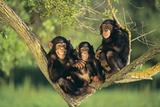 Chimpancés Lámina fotográfica por  DLILLC