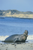 Elephant Seal Photographic Print by  DLILLC