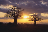 Baobab Trees in the Sunset Photographic Print by  DLILLC