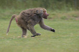 Running Baboon Photographic Print by  DLILLC