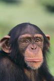 Chimpanzee Photographic Print by  DLILLC