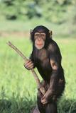 Chimpanzee with Stick Photographic Print by  DLILLC