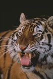 Tiger Snarling Photographic Print by  DLILLC