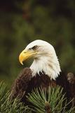 Bald Eagle Photographic Print by  DLILLC