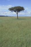 Single Acacia on the Savanna Photographic Print by  DLILLC