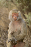 Hamadryas Baboon Photographic Print by  DLILLC